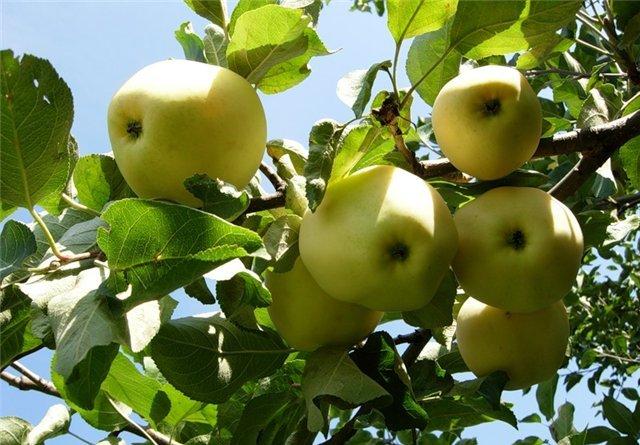 Сорт яблони: Папировка (Алебастровое, Белый налив, Прибалтийское)