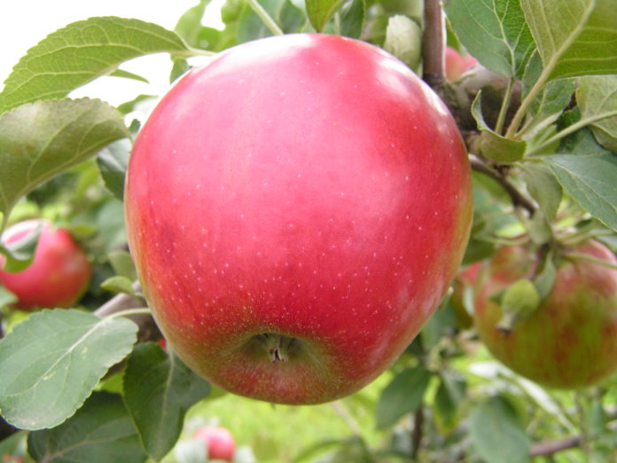 Сорт яблони: Пармен зимний золотой
