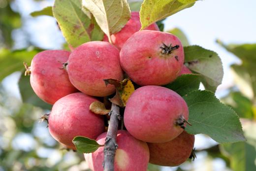 Сорт яблони: Пепин шафранный