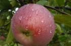 Сорт яблони: Персиковое