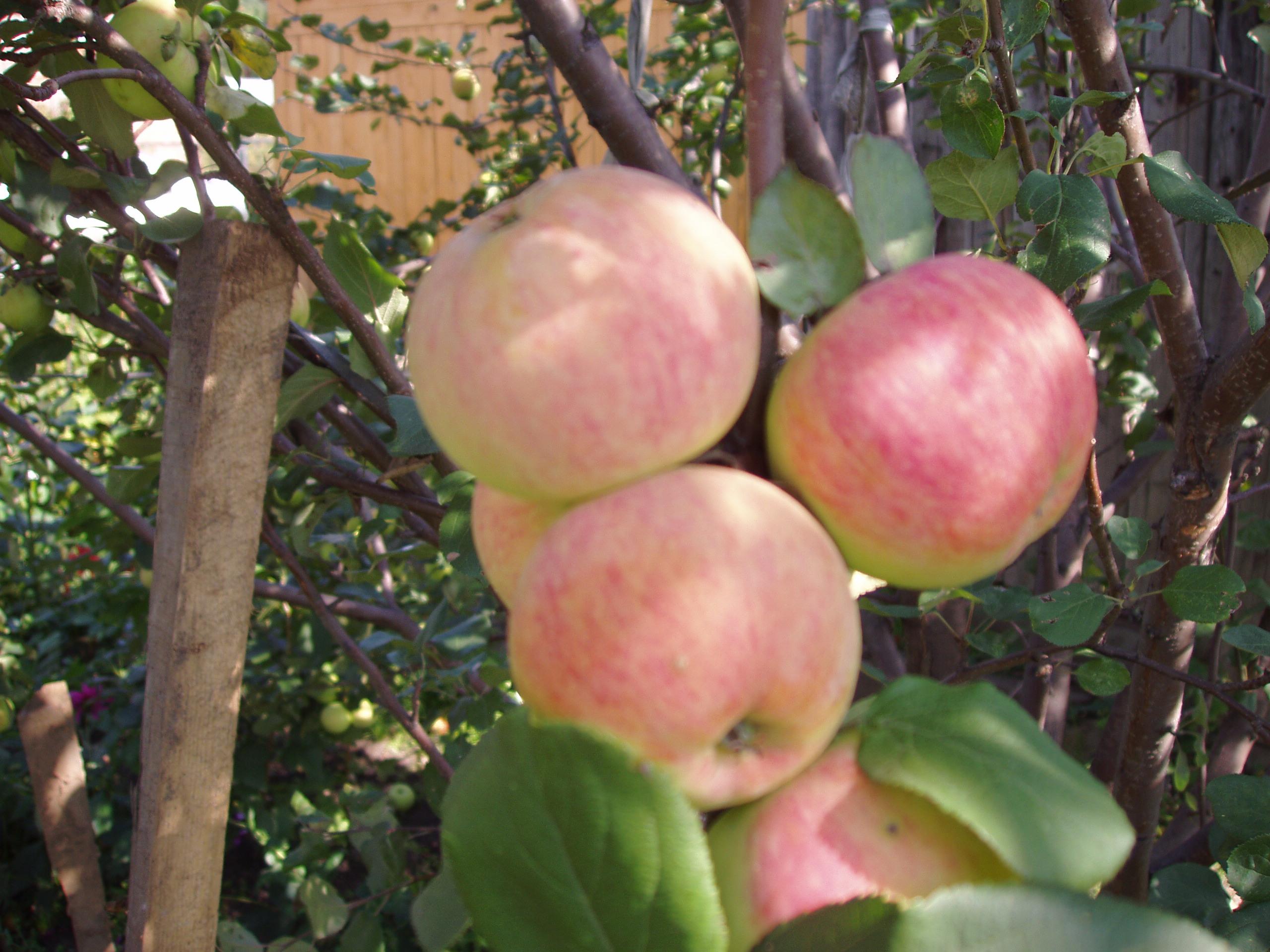 Сорт яблони: Персиянка