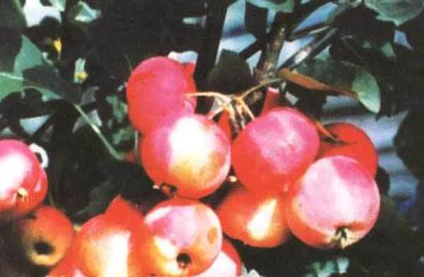 Сорт яблони: Первенец Бурятии