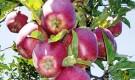 Сорт яблони: Пламя Эльбруса