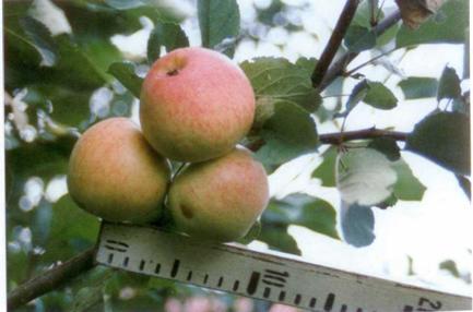 Сорт яблони: Подарок садоводам