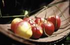 Сорт яблони: Подруга