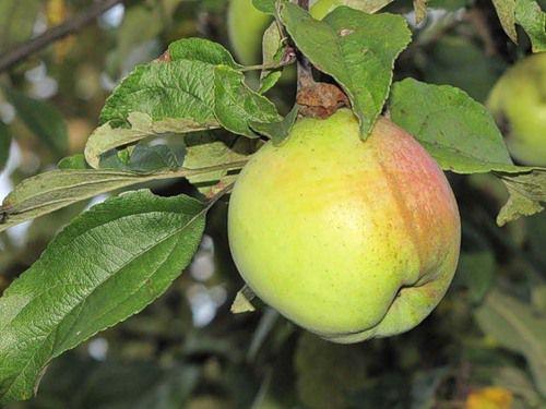 Сорт яблони: Подснежник