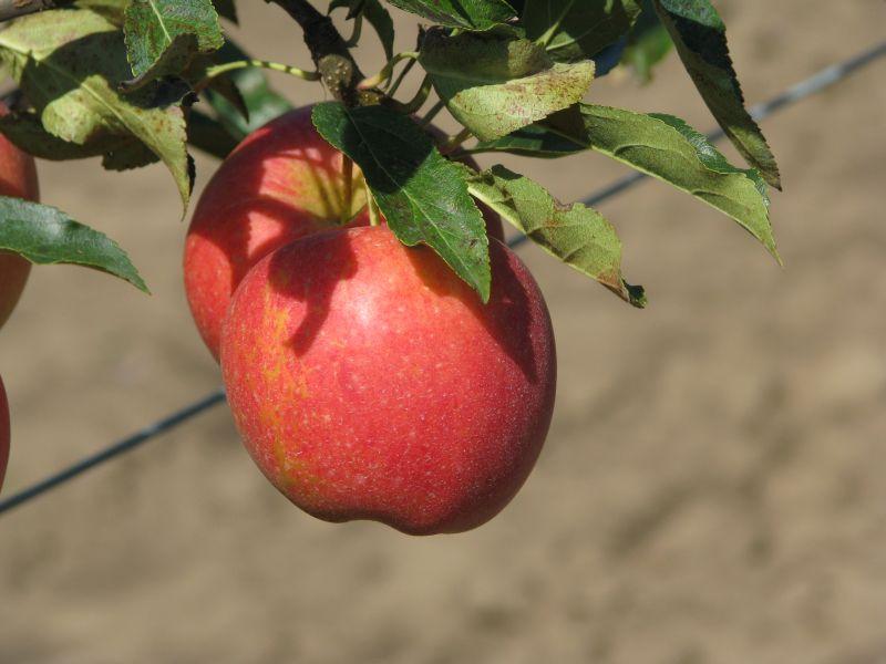 Сорт яблони: Прикубанское