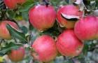 Сорт яблони: Прима