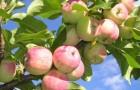 Сорт яблони: Приземлённое