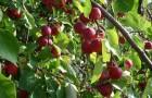 Сорт яблони: Ранетка пурпуровая