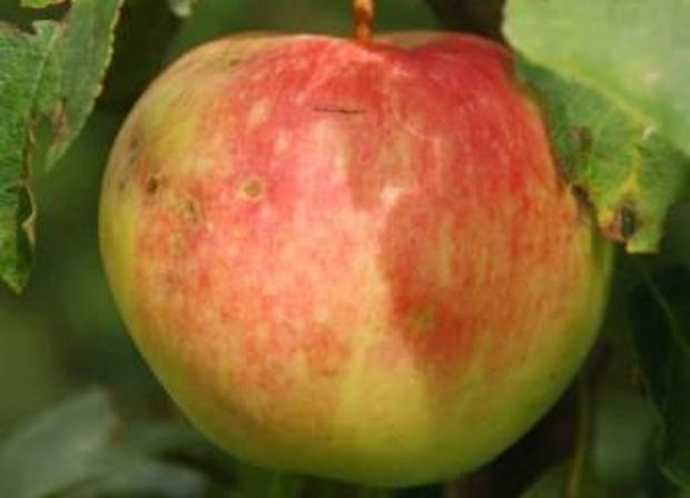 Сорт яблони: Раннее Болоняева