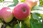 Сорт яблони: Раннее алое