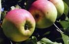 Сорт яблони: Ренет Черненко (Ренет Кичунова)