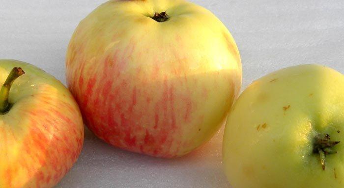 Сорт яблони: Ренет Громова