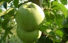 Сорт яблони: Ренет кавказский
