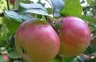 Сорт яблони: Ренет шампанский (Ренет бумажный, Ренет бесподобный, Бумажный ренет)