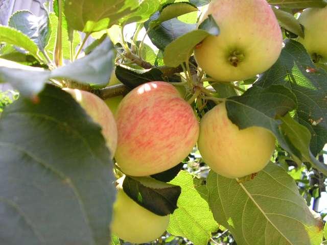 Сорт яблони: Ренет татарский