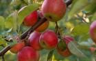 Сорт яблони: Росса
