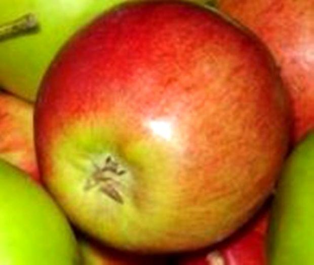 Сорт яблони: Россошанское августовское