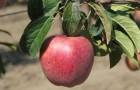 Сорт яблони: Рояль Ред Делишес