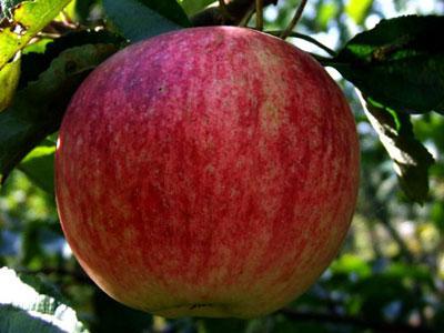 Сорт яблони: Ртищевская красавица