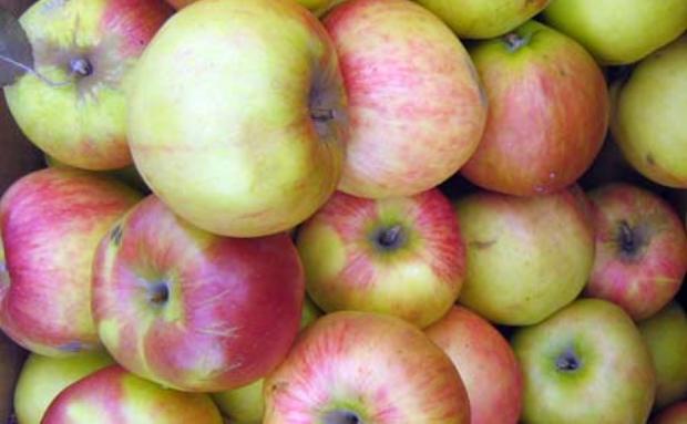 Сорт яблони: Румянка свердловская