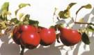 Сорт яблони: Сафаре