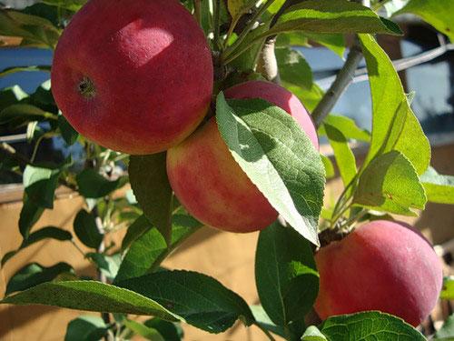 Сорт яблони: Серебряное копытце