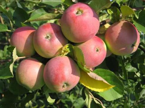 Сорт яблони: Северный синап