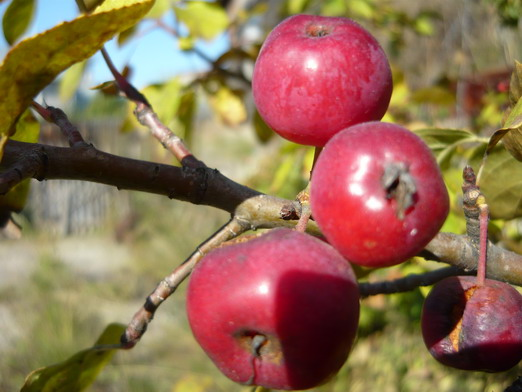 Сорт яблони: Сеянец Кравченко