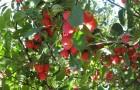 Сорт яблони: Сеянец Пудовщины