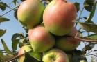 Сорт яблони: Синап орловский