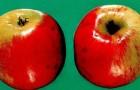 Сорт яблони: Скала
