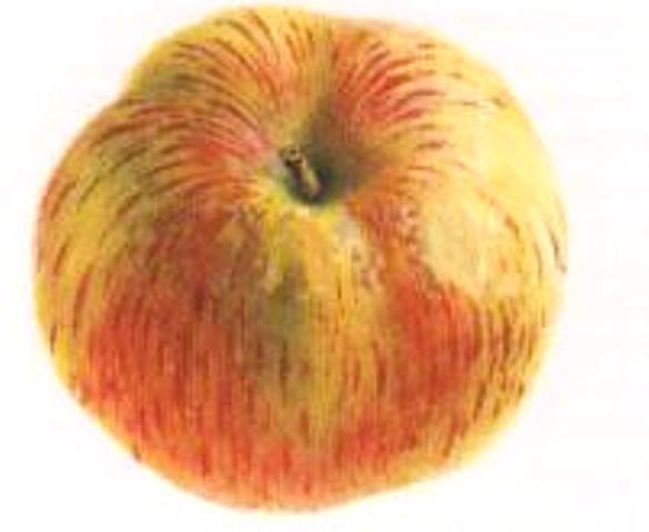 Сорт яблони: Скрыжапель