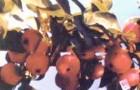 Сорт яблони: Слава Бурятии (Байкал, Байкал изобильный)