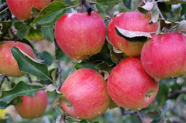 Сорт яблони: Слава переможцам (Слава победителям)