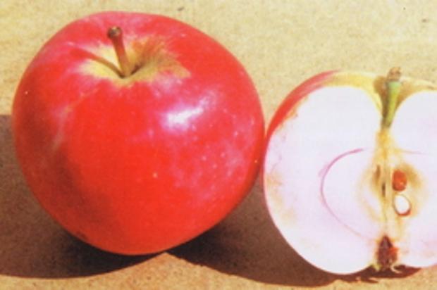 Сорт яблони: Солнцедар