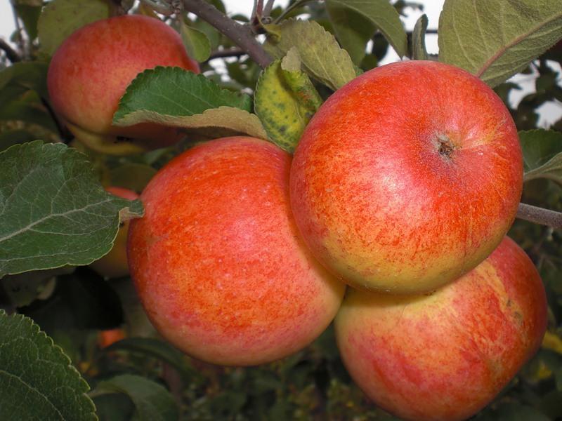 Сорт яблони: Солнышко