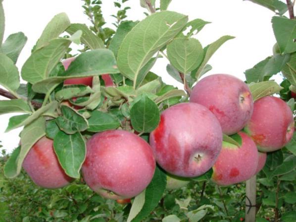 Сорт яблони: Спартан