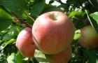 Сорт яблони: Старк