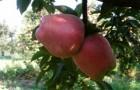 Сорт яблони: Старкримсон (Старкримсон Делишес)