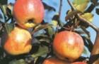 Сорт яблони: Старт