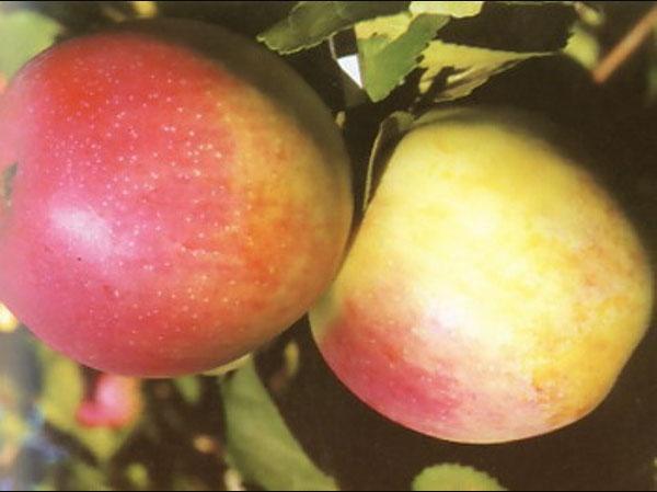 Сорт яблони: Строевское