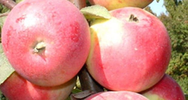 Сорт яблони: Сувенир Алтая