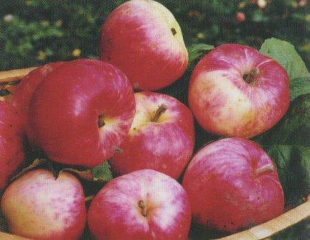 Сорт яблони: Суйслепское (Суйслепер, Малиновка)