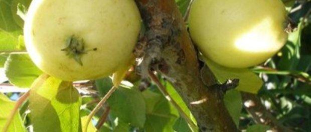 Сорт яблони: Светлое