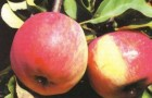 Сорт яблони: Свежесть