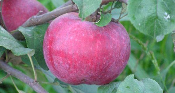 Сорт яблони: Терентьевка