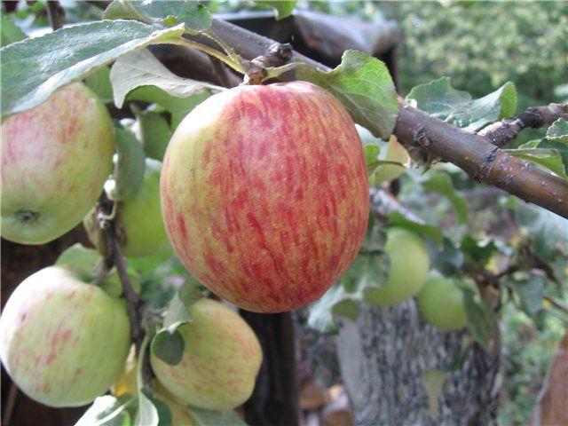 Сорт яблони: Титовка (Титовка расписная)