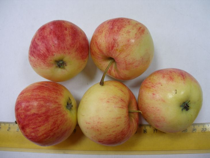 Сорт яблони: Уралец
